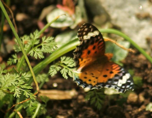 お庭の蝶々