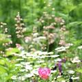 Photos: ヒューケラの咲く庭で