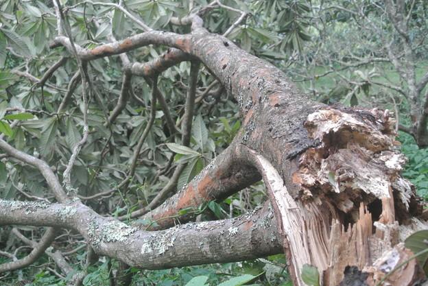 Photos: 台風15号によるびわのきの被害