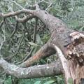 台風15号によるびわのきの被害