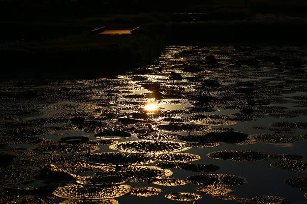 新潟 福島潟 オニバス池