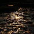 Photos: 新潟 福島潟 オニバス池