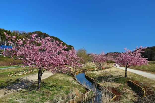 河津桜(松戸 21世紀の森広場)