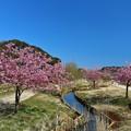 Photos: 河津桜(松戸 21世紀の森広場)