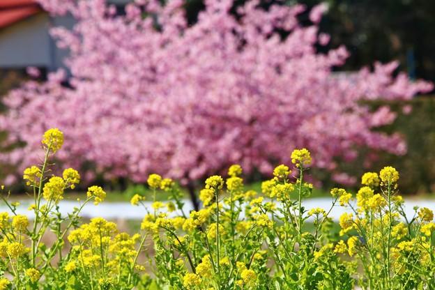 菜の花と河津桜(松戸 21世紀の森広場)