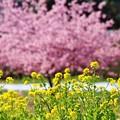 Photos: 菜の花と河津桜(松戸 21世紀の森広場)