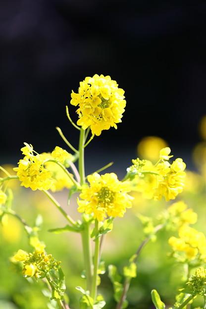 菜の花(松戸 21世紀の森と広場)