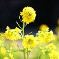 Photos: 菜の花(松戸 21世紀の森と広場)