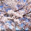 Photos: 談合坂SAの桜
