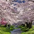 Photos: 福島 観音寺川の桜
