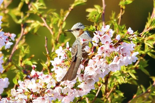 Photos: 桜のソファに身を委ねて^^