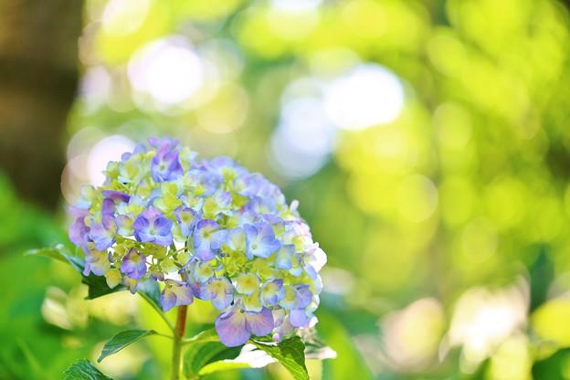 松戸・本土寺の紫陽花