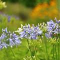 Photos: 河口湖 大石公園の花たち