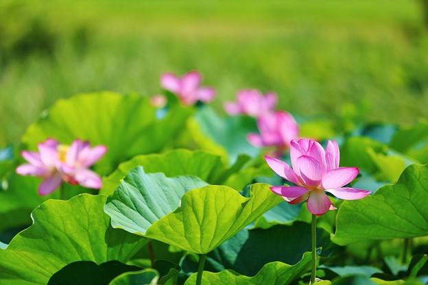 蓮の花(松戸 21世紀の森と広場にて)
