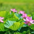 Photos: 蓮の花(松戸 21世紀の森と広場にて)