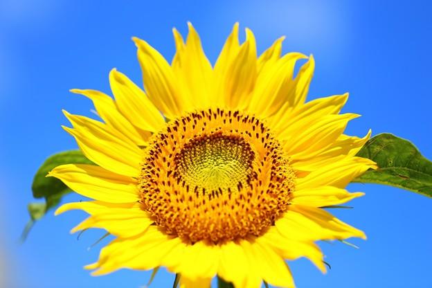 福島 布引高原の向日葵