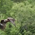 写真: トビ飛ぶ