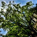 Photos: 県の木