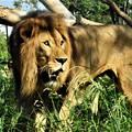 写真: 草叢から忍び寄るライオンDSC_1969 (3)