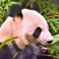 DSC_8768 (4) パンダはお食事中