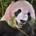 写真: DSC_8771 (3) パンダ