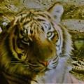 写真: DSC_0511 (2) 虎の眼