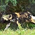 写真: DSC_2224 (3) 藪の中を走るリカオン