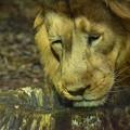 DSC_2666 餌を先客に食べられて悲しみに暮れるライオン