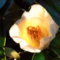 白いバラ  DSC_3085 (2)