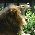 Photos: DSCN2471 ライオンのあくび
