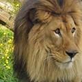 Photos: DSC_3248 (2) 可愛らしいライオン