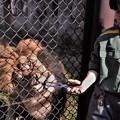 Photos: 給餌タイムのライオン DSCN0185 (3)