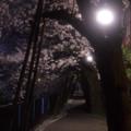 写真: 地元の桜その2