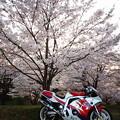 写真: 桜ツーリング