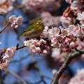 写真: 寒桜とメジロちゃん♪