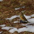 Photos: 雪どけルリちゃん♪