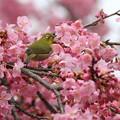 Photos: 花盛りのメジロン♪