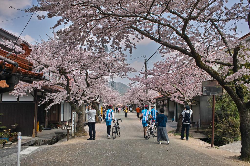 がいせん桜 #1