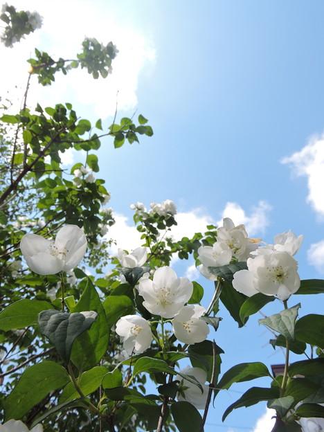 青空と白花