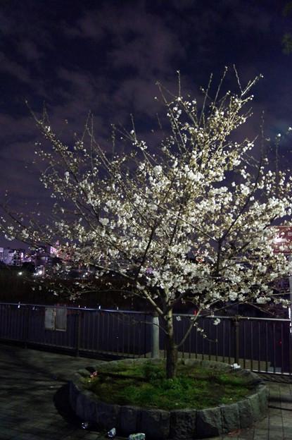 夜桜 #11