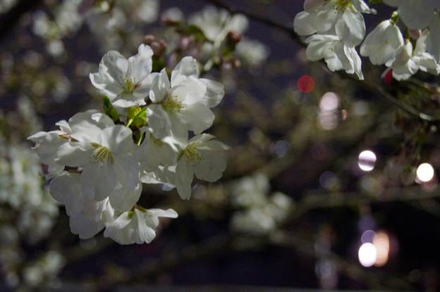 夜桜 #12