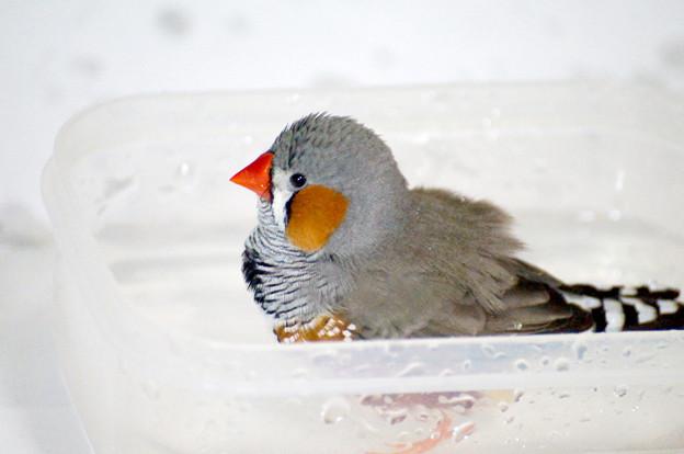水浴びするピコちゃん