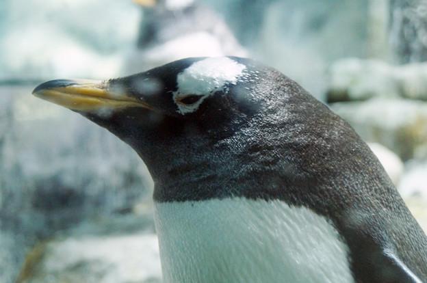 ジェンツーペンギン@海遊館