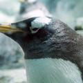 Photos: ジェンツーペンギン@海遊館