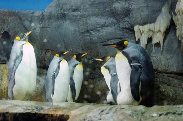キングペンギン@海遊館