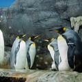 Photos: キングペンギン@海遊館