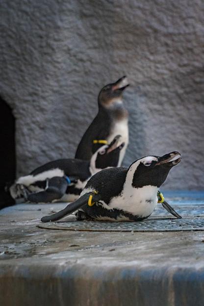 ケープペンギン #3@夜の動物園