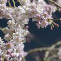 夜桜 #2 @尾久の原公園