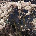 夜桜 #4 @尾久の原公園