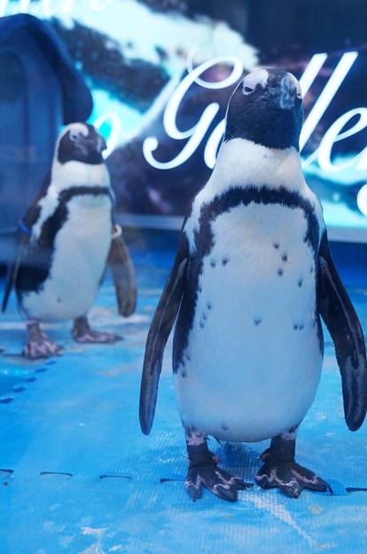 ケープペンギン@ペンギンのいるBAR